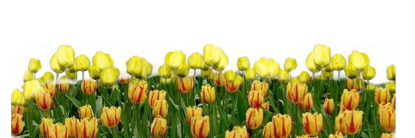 tulipe-raye_1
